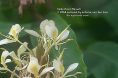 Hedychium flavum Flowers, Plants, How To Make, Pictures, Royal Icing Flowers, Flower, Florals, Plant, Paintings