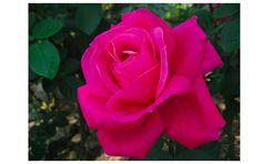 maria callas rose