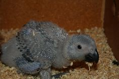 Baby African Grey. African Grey Parrot, Pets, Baby, Animals, Animales, Animaux, Animal, Baby Humor, Animais