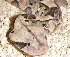 gaboon viper facts - deadliest due to length of its fangs and power of its strike! Snake Farm, Gaboon Viper, Reticulated Python, Poisonous Snakes, Largest Snake, Long Snake, Snake Venom, Close Up Pictures, Cool Pets