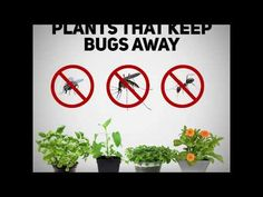 Pest Management: Tips That May Help You – Best pest control solutions Best Pest Control, Bug Control, Rat Infestation, Plants That Repel Bugs, Air Plants, Step Function, Ant Problem, Keep Bugs Away, Household Pests
