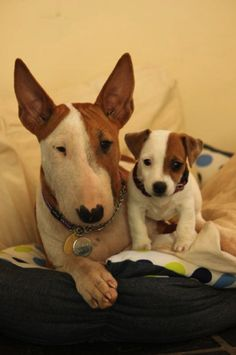 Matching Bull Terrier and Jack Russel puppies. Oh, the cuteness!