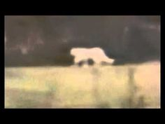 Texas: Sightings of Large 'Albino' Cat Coincides with Missing Cattle Report