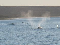 Southern Right Whales, Puerto Madryn Argentina memories 2007