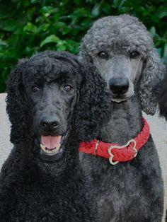 """We're best girlfriends since way back!"" #dogs #pets #Poodles facebook.com/sodoggonefunny"