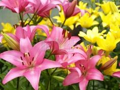 Lilies are one of the most beautiful and fulfilling flowers to grow. With just a few tips anyone can grow them well and be very successful with this particular flower variety.   Not only are lilies fantastic to look at and a terrific addition to...