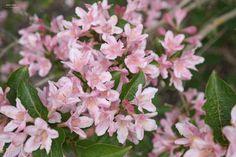 Weigela florida, bladverliezende stuik, 1.5-2 m hoog, bloeit mei-juni met roze/witte buisvormige bloemen.