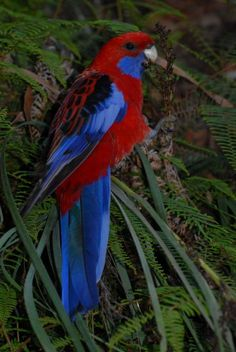 Crimson rosella. Adult male. Blue Mountains,  New South Wales,  Australia, 2009-11. Image © Peter Reese by Peter Reese