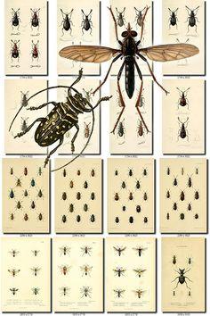 INSECTS-96 Collection of 273 vintage illustration Beetles Abacetus, Abaris, Acanthoscelis, Achloa, Acinopus, Actobius, Acupalpus, Agathidium, Agonoderus, Agonum, Agra, Alaus, Aleochara, Amara, Amblychila, Amblygnathus, Anatis, Anchomenus, Ancyrophorus, Andrena, Anisodactylus, Anomala, Anoplus, Antarctia, Anthia, Anthonomus, Aphanisticus, Aphodius, Apion, Apotomus, Aptinus, Arena, Asemum, Athous, Aulonium, Axinophorus, Axinotoma, Badister, Bagous, Baripus