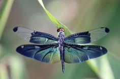 El volar de esta libélula es aun más bello con las tonalidades azules, verdes y amarillas de sus alas.  Las tramas que forman nos recuerdan la misteriosa perfección de la naturaleza.