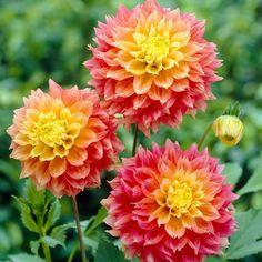 Glorious Enjoy Life With Your Own Flower Garden Beautiful Easy Ideas. Enjoy Life With Your Own Flower Garden Beautiful Easy Ideas. Flower Garden, Bloom, Dahlia, Plants, Bulb Flowers, Beautiful Flowers, Flowers, Short Plants, Dahlia Flower