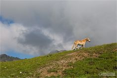 Serfaus-Fiss-Ladis - Alpen Bergpanorama - Mountains and alps - Horses - Pferde