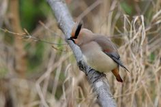 Japanese waxwing by Mubi.A