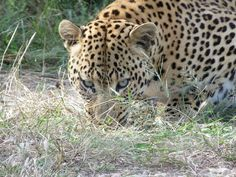 Leopard Drive at Dusternbrook Guest Farm, Namibia Spotted Cat, Leopards, Cheetah, Lions, Animal Pictures, Spaces, Cats, Animals, Lion