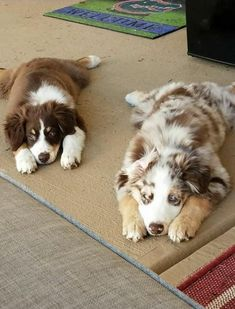 Dog Breeds Names .Dog Breeds Names Australian Shepherds, Australian Shepherd Puppies, Aussie Puppies, Cute Dogs And Puppies, I Love Dogs, Doggies, Baby Animals Pictures, Cute Animal Pictures, Cute Little Animals