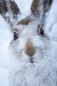 ....<3....mountain hare by (Susanna Chan)