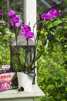 Innovative and clever Orchid pot! The tap in the pot makes the watering and fertilising easy and effortless. Just add water in the pot, wait 30 minutes and drain the water out of the tap. http://www.biolan.fi/suomi/puutarhaharrastajat/huonekasvituotteet/ilo-kasvatussarja
