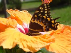A butterfly taking a long drink