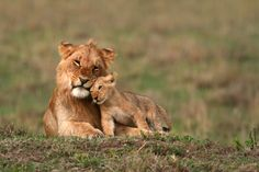 Young Lions - The Cat Family Inspiring Photography Beautiful Lion, Animals Beautiful, Cute Baby Animals, Animals And Pets, Big Cats, Cute Cats, Lion Photography, Inspiring Photography, Lioness And Cubs