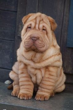 Shar Pei Puppy....Sharpay puppy? Does that mean I get one?? #animals