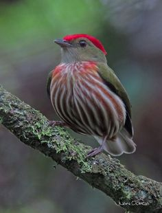 Manakin rubis mâle / Eastern striped manakin / Machaeropterus regulus. Aire: Brésil, Péru, Équateur, Colombie et Vénézuela. Référence: https://en.m.wikipedia.org/wiki/Striped_manakin