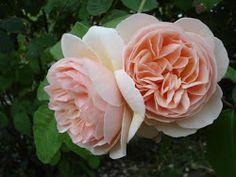 meravigliose rose
