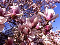 De Magnolia is een opvallende bloeier in mei/juni. Plant deze kleine boom solitair op een zonnig plek in de tuin met groenblijvende bodembedekkers als onderbeplanting.