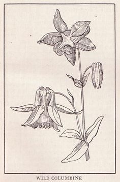 Wild Columbine ~ public domain floral illustration, 1917.