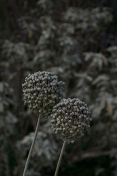 Purple-grey allium seed heads in Beth Chatto's garden in Essex - dried seed heads in the garden - seed heads for birds - dry garden inspiration Dry Garden, Gravel Garden, Garden Plants, Beth Chatto, Online Nursery, Dutch Gardens, Hardy Perennials, Unusual Plants, Drought Tolerant Plants