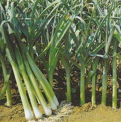 Il porro, un ortaggio sempre più gradito agli ortolani. Ecco come si coltiva - Coltivare l'orto