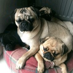 "Triple treat #cuteness with @pugletsxo! ... ""Snug as a pile of pugs "" ... #Pileofpugs #4pugs #pugsofinstagram #pugpictures #puglife #pugpictureoftheday #dogscorner #dogs #dogs_of_instagram #cutedogs #cuteness #bestfriends #friends #pugsleep #pugsonlyzone #pugrequest #grumble_inc #dogsubmit #blackpug"