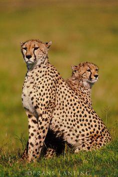 Cheetah mother and cub, Acinonyx jubatus, Masai Mara Reserve, Kenya