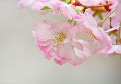 Free Branch Brook Park Cherry Blossom Photos for Download