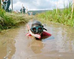 World Bog Snorkelling Championships, Pays de Galles