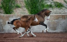 — Not so many pure Andalusians (PRE) horses with markings like this one. Very rare and very unique horses from Yeguaga Sierra de la Espada.