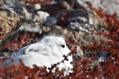 Arctic Hares generally live alone, but on occasion they do group together by the dozens or even hundreds, huddling up together for warmth. Arctic Hare, Wildlife, Group, Live, Animals, Animaux, Animal, Animales, Animais