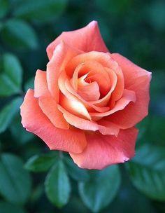 Image result for orange pink roses