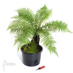 Dicksonia fibrosa (tree fern) An evergreen tree fern to 6m tall, with a stout rhizome and dark green, 2 to 3-pinnate fronds to 2m long https://www.rhs.org.uk/Plants/5796/i-Dicksonia-fibrosa-i/Details