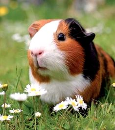 Wonderful …. Daily Cutest Posts, Follow Me For More Posts, Best Pictures Fo #GUINEAPIG #GUINEA #PIG , , #designer And #creator Of #clothing, Accessories And #product For #man #woman #kids #baby #pet #animals. #shoes #accessories #mug #case #necklace #tshirt #hoodie #sweatshirt