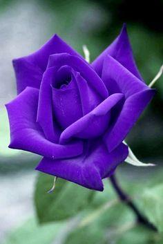 Purple Roses, Most Beautiful, Flowers, Plants, Roses, Purple Rose, Plant, Royal Icing Flowers, Flower
