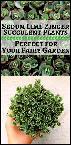 Love this lime sedum succulent plant! #sedum #groundcoverplant #groundcover #sedumlimezinger #tinyplant #tinyplants #fairygardenplants #succulentplants #succulents #affiliate