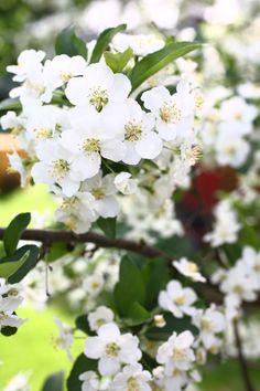 Pihan vanha marjaomenapensas kukassa! Plants, Plant, Planets