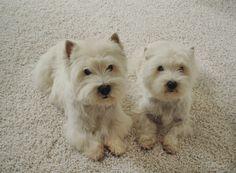 Karastan Puppies