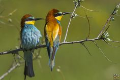 European Bee-eater / Merops apiaster by vedat esen on 500px