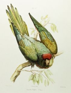 Wagler's Parakeet Green Parrot Print by ParagonVintagePrints, $5.00