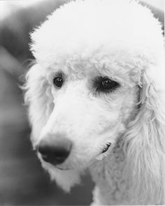 A portrait I took of my white standard poodle when she was about 6 months old.