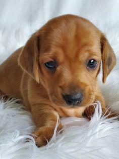Dachshund Puppies For Sale, Baby Dachshund, Cute Puppies, Dogs And Puppies, Doggies, Dachshund Quotes, Dachshund Gifts, Daschund, Miniature Dog Breeds