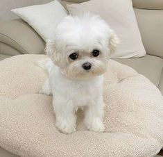 Maltese Puppies For Sale, Cute Baby Puppies, Super Cute Puppies, Super Cute Animals, Maltese Dogs, Cute Baby Animals, Le Terrier, Dog Best Friend, Cute Animal Pictures