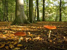 Mooie Vliegenzwammen in het Haagse bos den haag - zie ook: www.nlwandel.nl