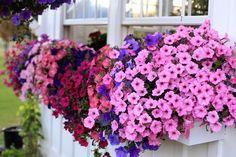 petunia window boxes